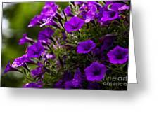 Petunias 1 Greeting Card