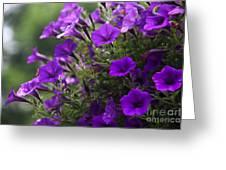 Petunias 2 Greeting Card