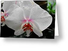 Phalaenopsis Orchid With Blush Center Greeting Card