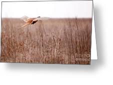 Pheasant In Flight Greeting Card by Gabriela Insuratelu