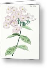 Phlox Acuminata Greeting Card