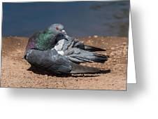 Pidgeon Preening Greeting Card