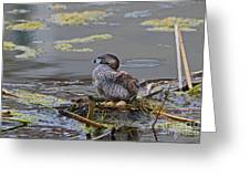 Pied-billed Grebe On Eggs Greeting Card