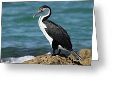Pied Cormorant A Greeting Card