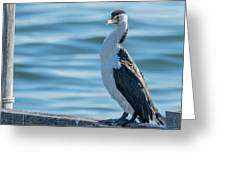 Pied Cormorant On Old Wharf Greeting Card