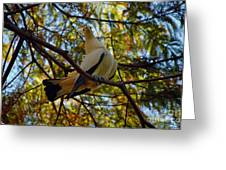 Pied Imperial Pigeon Greeting Card