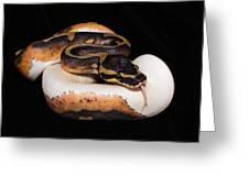 Piedbald Ball Python Greeting Card