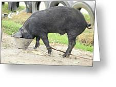 Pig Eating From A Bucket Greeting Card