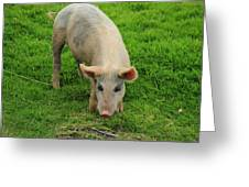 Pig Foraging Greeting Card