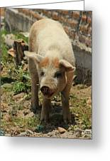 Pig On A Farm Greeting Card