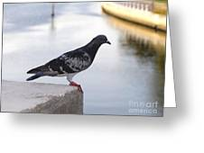 Pigeon By The River Greeting Card