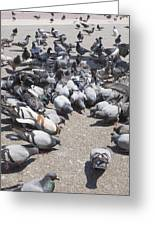 Pigeons Are Eating Forage  Greeting Card
