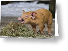 Piglet Eating Hay Greeting Card
