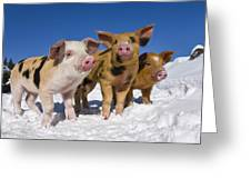 Piglets In Snow Greeting Card