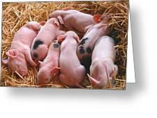 Piglets Greeting Card