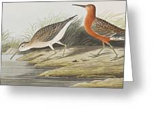 Pigmy Curlew Greeting Card