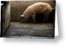 Pigs At A Hog Farm In Kansas Greeting Card