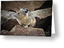 Pika - Weminuche Wilderness - Colorado Greeting Card