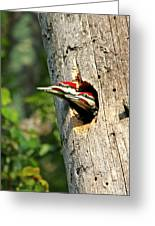 Pileated #29 Greeting Card