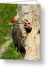 Pileated #30 Greeting Card