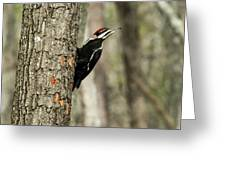 Pileated About To Take Flight Greeting Card
