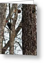 Pileated Billed Woodpecker Greeting Card