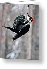 Pileated Billed Woodpecker Feeding 1 Greeting Card