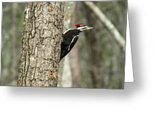 Pileated Searching - Looking Greeting Card