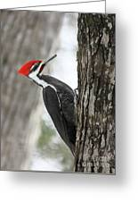 Pileated Woodpecker In Spring Greeting Card