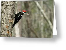Pileated Woodpecker Looking For A Perspective Mate Greeting Card