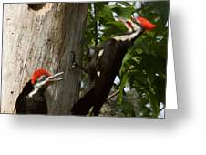 Pileated Woodpecker Ready To Fledge Greeting Card