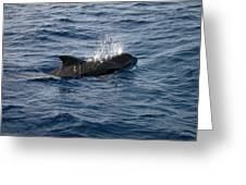 Pilot Whale 6 Greeting Card