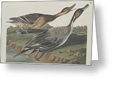 Pin-tailed Duck Greeting Card