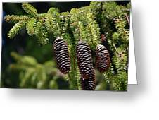 Pine Cones On The Bough Greeting Card