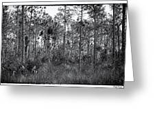 Pine Land In B/w Greeting Card by Rudy Umans