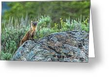 Pine Marten With Attitude Greeting Card