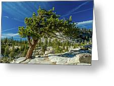 Pine Tree In Yosemite Greeting Card