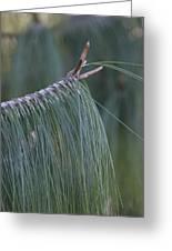 Pine Tree Greeting Card