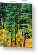 Pine Trees In Autumn Greeting Card