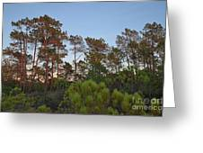 Pine Trees Waiting For Twilight Greeting Card