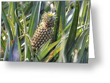 pineapple plantation in Kerala - India Greeting Card