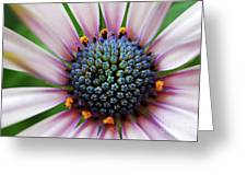 Pink African Daisy Detail Greeting Card