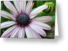 Pink African Daisy Greeting Card