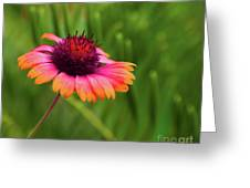 Pink And Orange Wild Daisy Greeting Card
