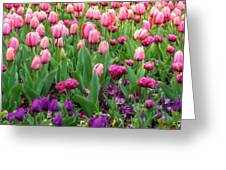 Pink And Purple Tulips At The Spring Floriade Festival Greeting Card
