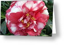 Pink And White Camillia Greeting Card
