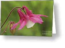Pink And White Columbine Greeting Card