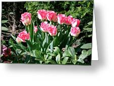 Pink And White Fringed Tulips Greeting Card