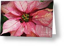 Pink And White Poinsettia Greeting Card