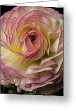 Pink And White Ranunculus Greeting Card